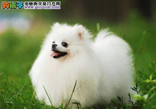 纯种圆球小博美犬重庆出售三年质量保证 五次治疗
