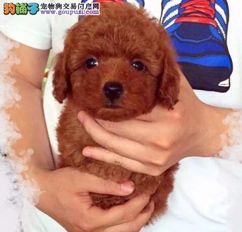 高品质的天津贵宾犬找爸爸妈妈可签订活体销售协议
