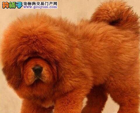 大狮头大长毛大骨量兰州藏獒幼崽出售中 有意者联系我