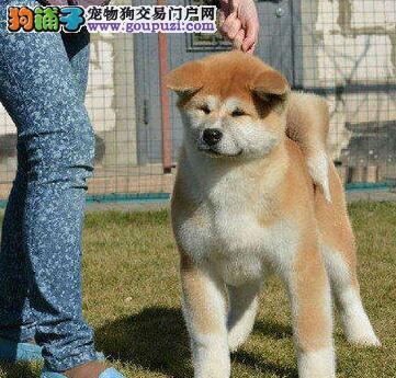 自家繁殖的一窝沈阳秋田犬求好心人收养 狗贩子请绕行