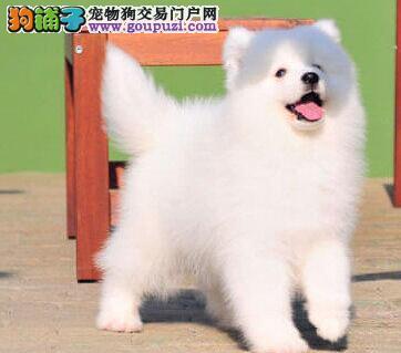武汉售纯种微笑天使萨摩耶幼犬小萨公狗出售