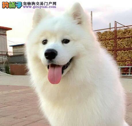 杭州繁殖舍售微笑天使萨摩耶宝宝 售后签保障协议1