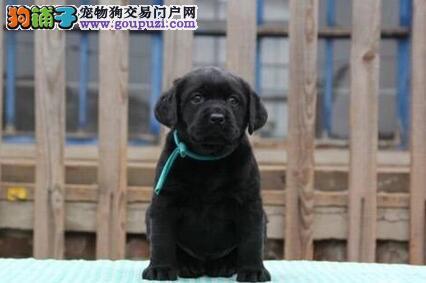 厦门正规养殖场出售拉布拉多犬 全程实拍保终身售后