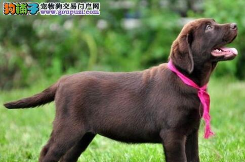 转让自己繁殖的绍兴拉布拉多犬 可办理证书植入芯片