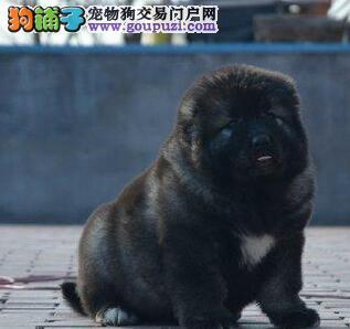 厦门实体狗场出售原生态的高加索犬 质保三年可签协议