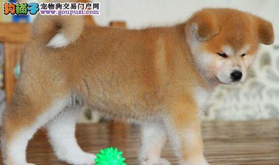 高品质日系秋田犬疫苗驱虫已做可见狗父母免费托运