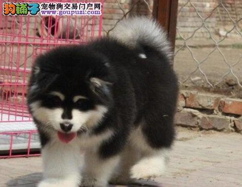 出售纯种十字脸阿拉斯加雪橇犬,喜欢的朋友可上门挑选