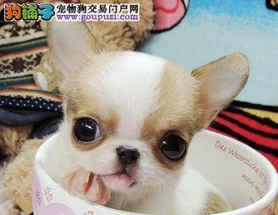 广州极品苹果头金鱼眼吉娃娃犬茶杯犬小体吉娃娃