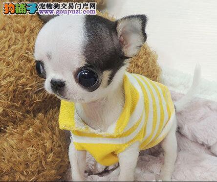 出售名贵纯种吉娃娃幼犬