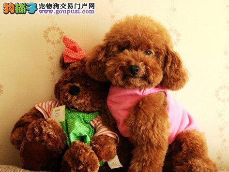 巨型深红色的东莞贵宾幼犬找新主人 爱狗人士优先选购
