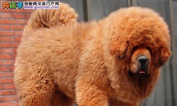 精品狮王血系藏獒出售 广州周边地区可免费送狗到家