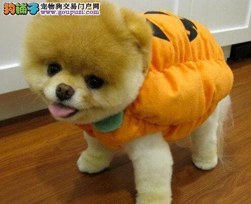 信阳市售纯种博美幼犬公母全长相甜美松鼠犬可挑选
