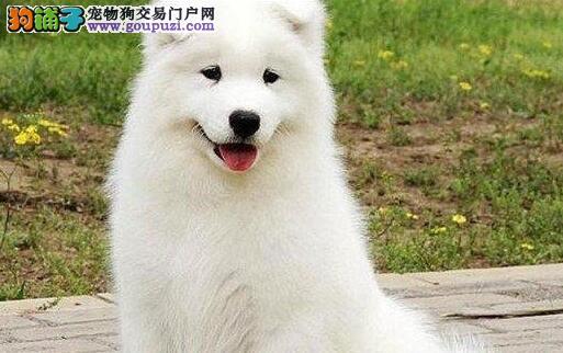 天津精品高品质萨摩耶幼犬热卖中带血统证书签活体协议