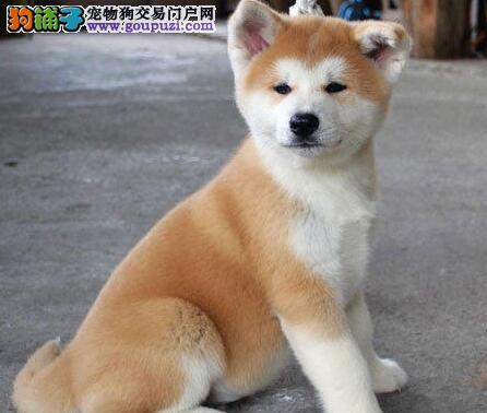 忠诚的秋田犬 霸气的秋田犬 忠诚的不二之选 价格优惠