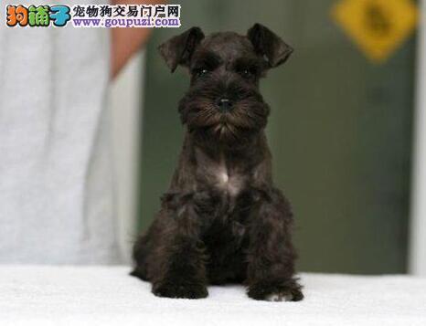 雪纳瑞出售,希望多能陪小狗的朋友来电。