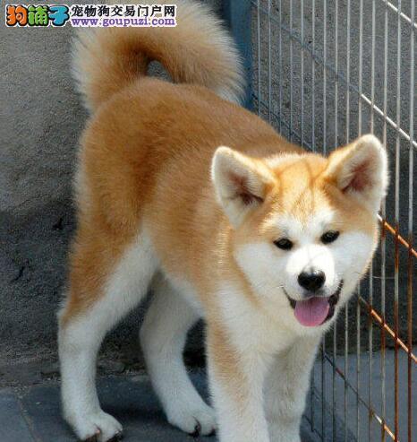 秋田犬每天的运动量应该是多少