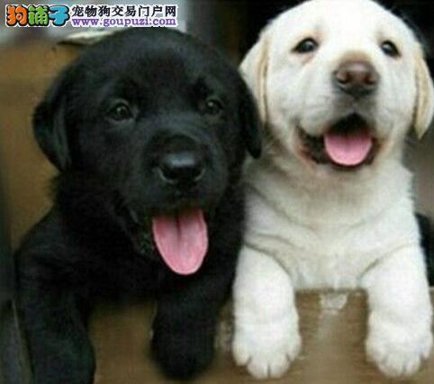运城双血统拉布拉多犬(赛级犬后代)幼犬新年特惠哪里有卖