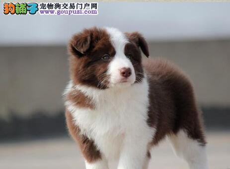 呼和浩特正规犬舍直销超高智商完美品相的边境牧羊犬1
