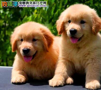 直销出售邯郸金毛犬 价格优惠可提供血统证书和芯片