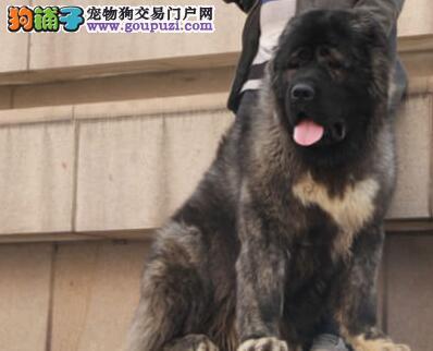 武汉专业犬舍出售俄系高加索犬 有问题可随时退换