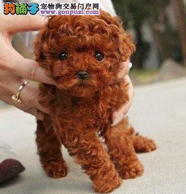 天津本地繁殖体型毛质好,可爱的贵宾幼犬有售