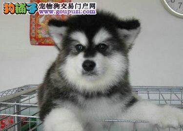 重庆什么地方有卖阿拉斯加狗狗的阿拉斯加狗狗多少钱
