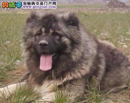 出售优秀血统高加索犬 沈阳地区最低价证书齐全保品质
