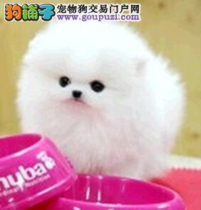 广州世界最小型哈多利球博美.魄力无处不在