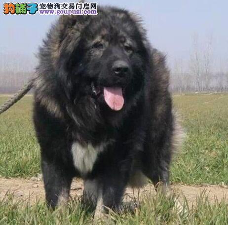 出售大骨架俄系高加索犬 北京周边地区可免邮费可视频