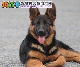 广州狗场直销德系黑背德国牧羊犬 健康保证 7天包退换