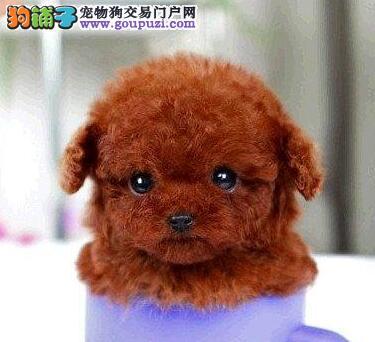 天津本地养殖基地出售韩系泰迪犬 有问题可来退换2