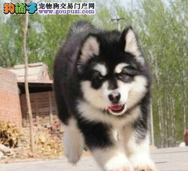 拉萨顶级犬舍出售优秀阿拉斯加雪橇犬 可签订售后协议
