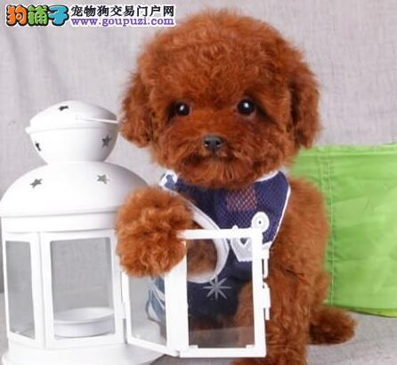 天津本地养殖基地出售韩系泰迪犬 有问题可来退换3