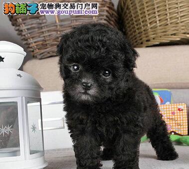 颜色全品相佳的贵宾犬纯种宝宝热卖中福州市内免费送货