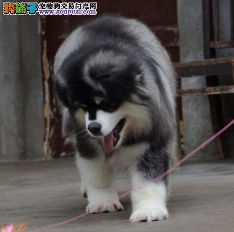 贵阳最专业繁殖纯种大骨巨型阿拉斯加幼犬送用品签协议