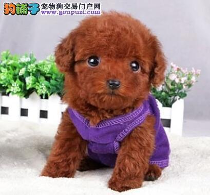 大连专业犬舍直销韩系泰迪犬 支持全国空运发货1