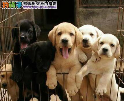 直销优秀聪明包头拉布拉多犬 上门购买可送狗狗用品