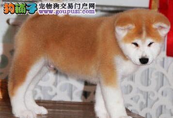 关于秋田犬的喂养方法共享