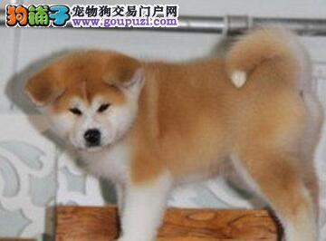 CKU认证犬舍 专业繁殖 秋田幼犬 购买有保证
