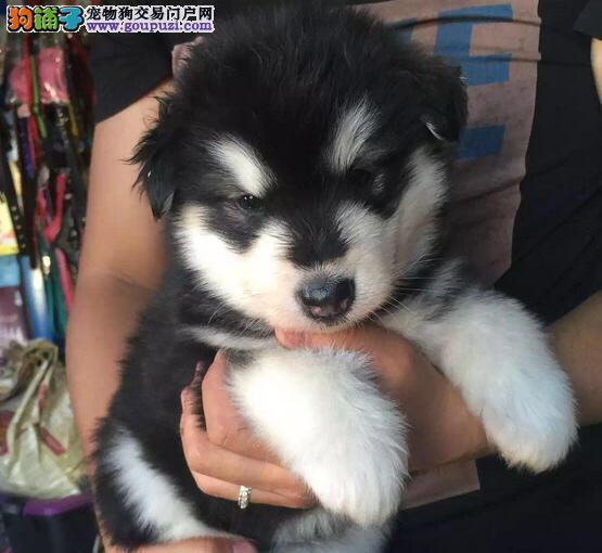 汕尾本地犬舍出售阿拉斯加雪橇犬专业繁殖基地直销可看