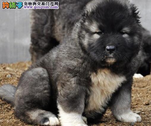 包头正规狗场热销熊版高加索犬 颜色多样公母都齐全