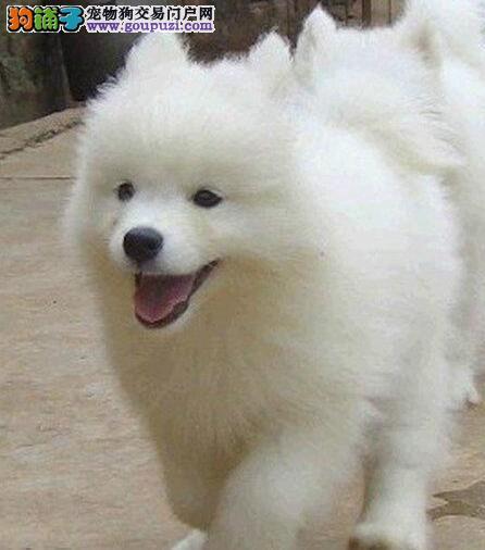 汕尾低价售萨摩耶犬宝宝漂亮宝贝清新可爱不看就真错过