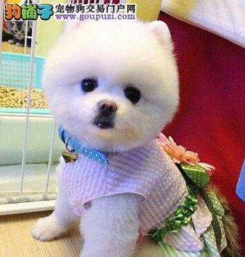 哈多利球体博美幼犬火爆热卖中 杭州市内免费送货