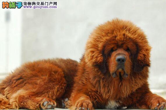 大狮头长毛藏獒出售绝对保证健康哦图片