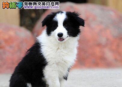 七白到位聪明绝顶的佛山边境牧羊犬特价出售 体型完美