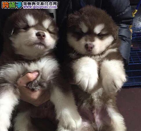 转让极品双十字杭州阿拉斯加雪橇犬 细小和狗瘟包退换