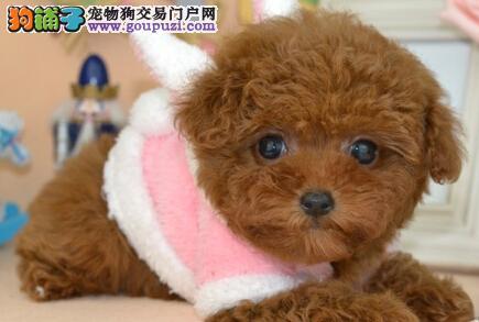 专业繁殖精品贵宾犬出售青岛市区内可送用品