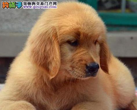 金毛犬什么时候来月经 应来多久
