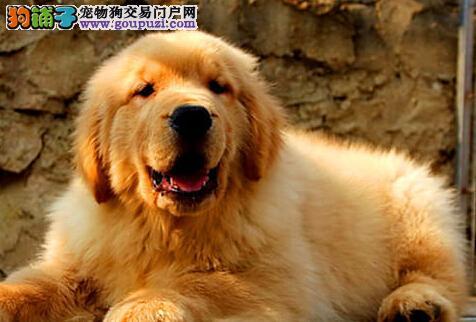 健康优秀大骨架金毛犬哈尔滨狗场直销 已做好疫苗