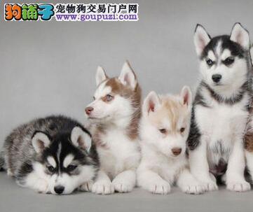 聪明机灵的青岛哈士奇幼犬找主人 可随时上门选购爱犬